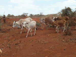Die letzten verbliebenen Rinder schleppen sich zur letzten verbliebenen Pfuetze von Wasserloch
